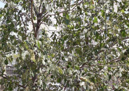 بیتوجهی شهرداری تبریز به مرگ درختان قرهآغاج با وجود هدفگذاری احیای باغشهر تبریز