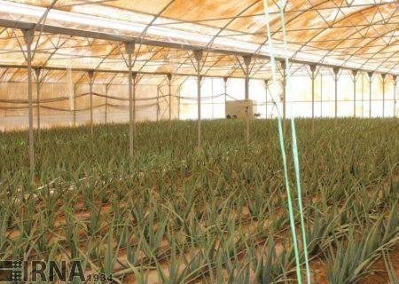 افزایش بیش از ۱۰۰ درصدی وسعت گلخانههای آذربایجانشرقی