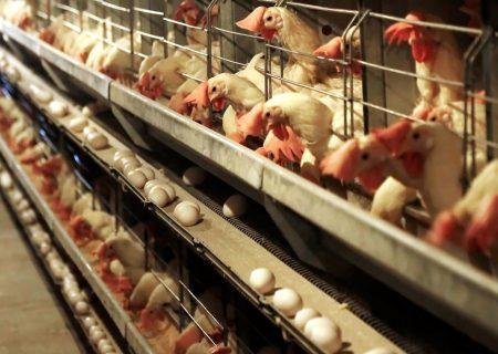 آذربایجانشرقی رتبه اول تولید تخممرغ و سوم مرغ کشور را دارد