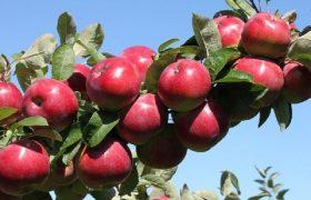 سیب درختی آذربایجانغربی درگیر پیچ و خم صادراتی