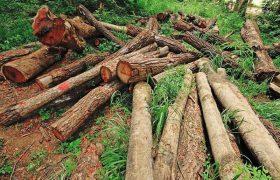 کشف ۱۲۰ اصله درخت جنگلی قطع شده در کلیبر