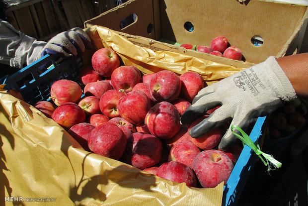 سیب وارد بورس کالا می شود/ارزش سیب ۴هزارمیلیارد تومان برآورد شد
