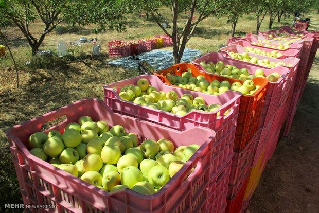 افزایش ۲ برابری صادرات سیب درختی مراغه به خارج از کشور