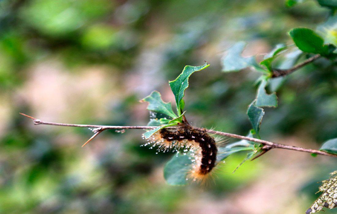 آغاز مبارزه با آفت پروانه دم قهوهای در قرهداغ