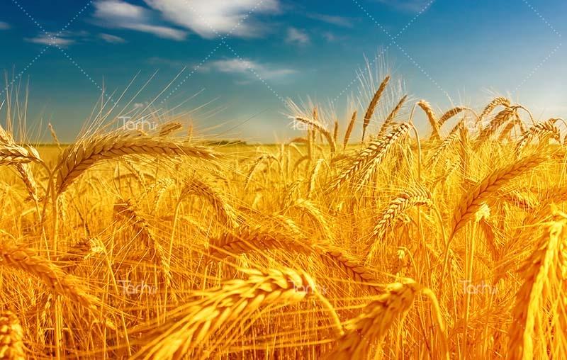 ۷۲ درصد وجه گندم خریداری شده در آذربایجان شرقی پرداخت شده است