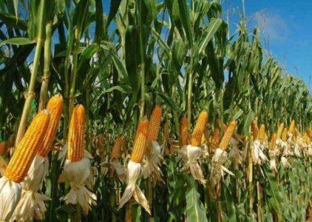 مدیر جهاد کشاورزی: ۹۶۰۰ تن ذرت علوفهای در هشترود تولید شد