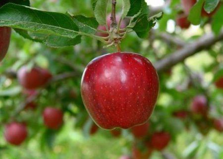 برداشت ۶۸۰ هزار تن سیب در آذربایجان شرقی